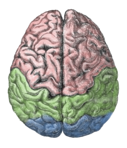 hjerne-cerebral_lobes